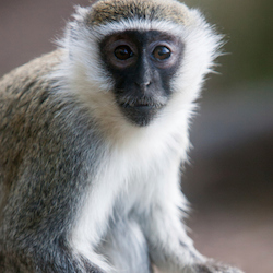Green vervet monkeys are common sightings on the Caribbean island of Nevis. // © 2014 Thinkstock