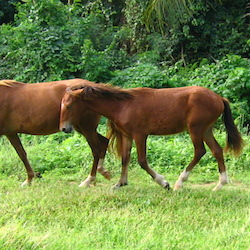 <p>It's common to spot a wild horse while visiting Vieques. // © 2015 Ward Nipper</p><p>Feature image (above): The island's quiet beaches, accessible...