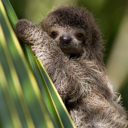<p>The sanctuary is home to several two- and three-toed sloths. // © 2017 iStock</p><p>Feature image (above): Clients interested in rainforest...