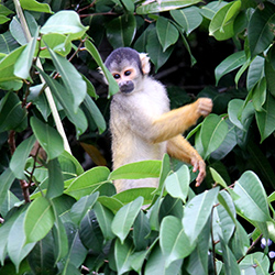 <p>A squirrel monkey spotted along the edge of Lake Sandoval. // © 2014 Megan Leader</p><p>Feature image (above): The canopy tree house is a secluded...