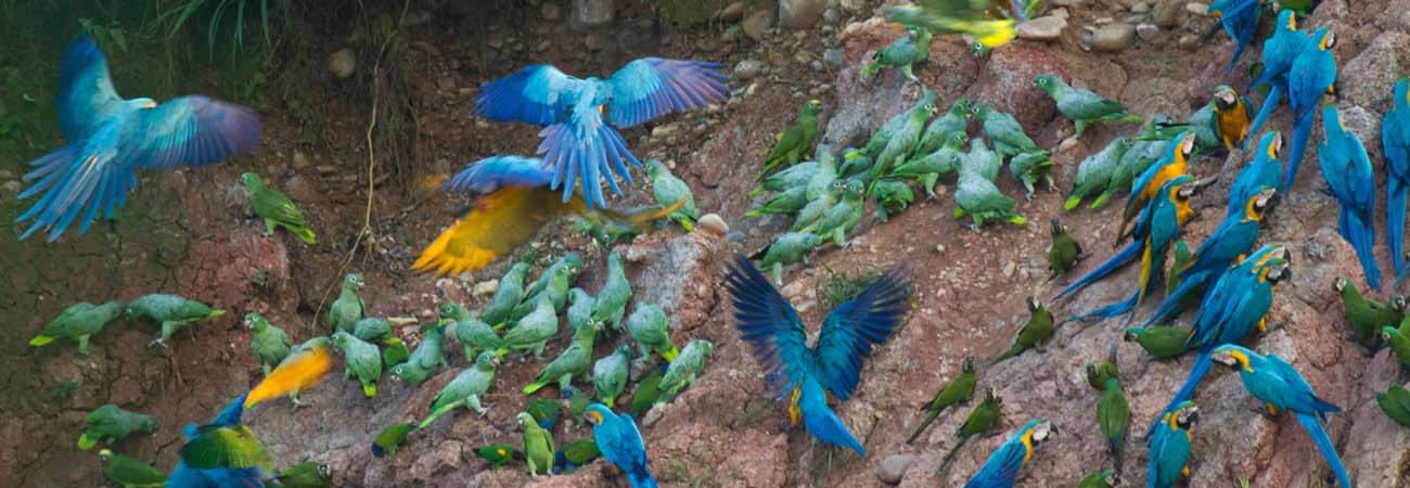 Birds of Peru Flock to Tambopata