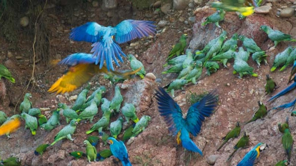Tambopata Biosphere Reserve in the Amazon Rainforest attracts five species of macaws and 15 other species of parrots. // © Rainforest Expeditions F