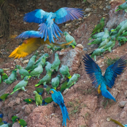 Tambopata Biosphere Reserve in the Amazon Rainforest attracts five species of macaws and 15 other species of parrots. // © Rainforest Expeditions