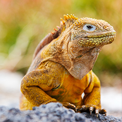 <p>A Galapagos land iguana // © 2018 Getty Images</p><p>Feature image (above): Quasar Expeditions' M/Y Grace yacht was restored to its formery glory....