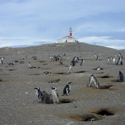 Guests onboard Holland America Line's Veendam on South America and Antarctica Explorer cruises have the option of photographing local penguins. // ©...