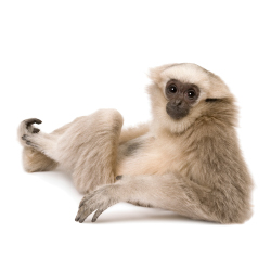 Gibbons can be found in Borneo. // © 2014 Thinkstock/Eric IsselÉe