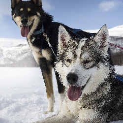 Families can meet sled dogs on a new Tauck tour. // © 2014 Thinkstock