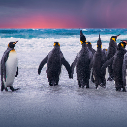 Travelers can visit a penguin colony on the Falkland Islands. // © 2015 iStock