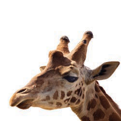 Giraffe // © 2013 Thinkstock