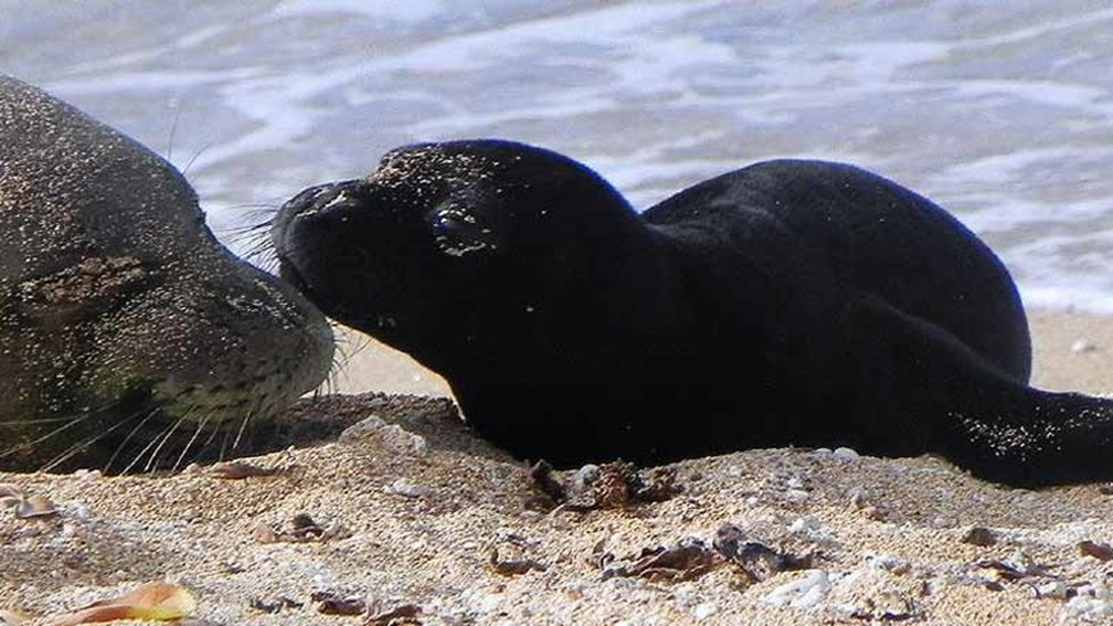 Kauai monk seals are often spotted right on the beach. // © 2015 Tim Robinson 2