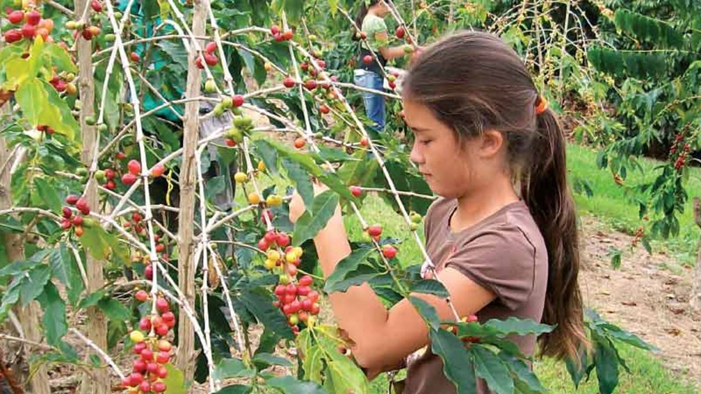 Kona Coffee Cultural Festival offers hands-on coffee-picking. // © 2015 Kona Coffee Cultural Festival 2