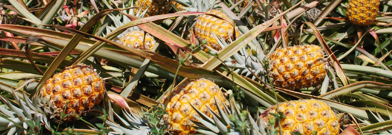 The Ultimate Maui Pineapple Tour