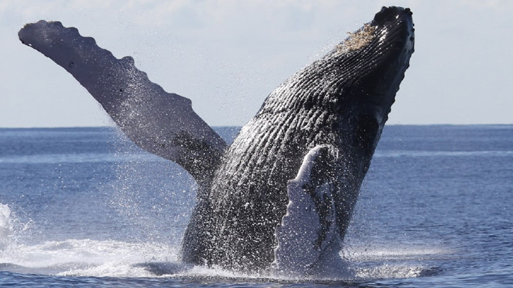 Where to See Humpback Whales in Hawaii in 2017