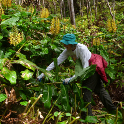 At Hawaii Volcanoes National Park, visitors lend a hand in removing invasive plants such as Himalayan ginger from trails. // © 2014 NPS/J. Ferracane