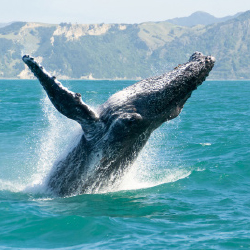 <p>During winter months, humpback whales are a common sight on Napali Coast boat tours. // © 2015 Thinkstock</p><p>Feature image (above): Kauai monk...
