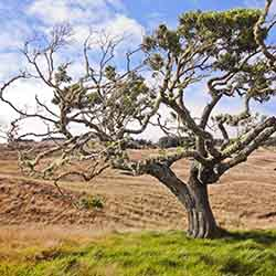 <p>Koa trees are rare and highly prized in Hawaii. // © 2016 Hawaiian Legacy Hardwoods</p><p>Feature image (above): Hawaii Island visitors can plant...
