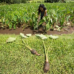 <p>Lyndsey Haraguchi-Nakayama demonstrates the old-Hawaii method of harvesting taro. // © 2016 Kahahawai Photography</p><p>Feature image (above): Tour...