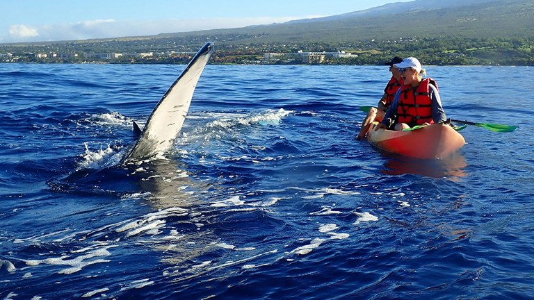During Maui Kayak Adventures' new whale-watching kayak and snorkel tour, clients split their time between spotting humpbacks and swimming with other sea creatures.