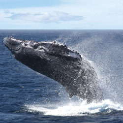 <p>Cruises bring clients close to the humpbacks that spend their winters in Hawaii's warm waters. // © 2014 Star of Honolulu Cruises and...