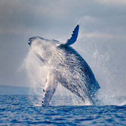 The Lahaina Whale and Ocean Arts Festival honors the annual return of the humpbacks. // © 2014 THinkstock/Jim Tierney
