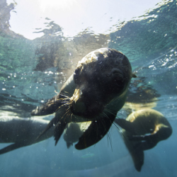 The opportunity to snorkel in a natural habitat for sea lions is unique to La Paz. // © 2013 La Paz Tourism