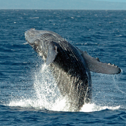 "Visitors can spot humpback whales on a ""safari"" in Baja. // © 2015 iStock"