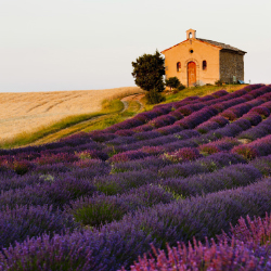 Provence France Lavendar Field // © 2013 Thinkstock