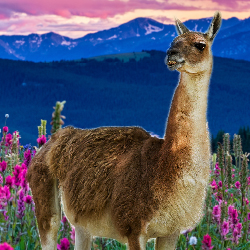 <p>Hang out with llamas in an alpine meadow. // © 2017 iStock</p><p>Feature image (above): Vail has a wide range of summer activities, including...
