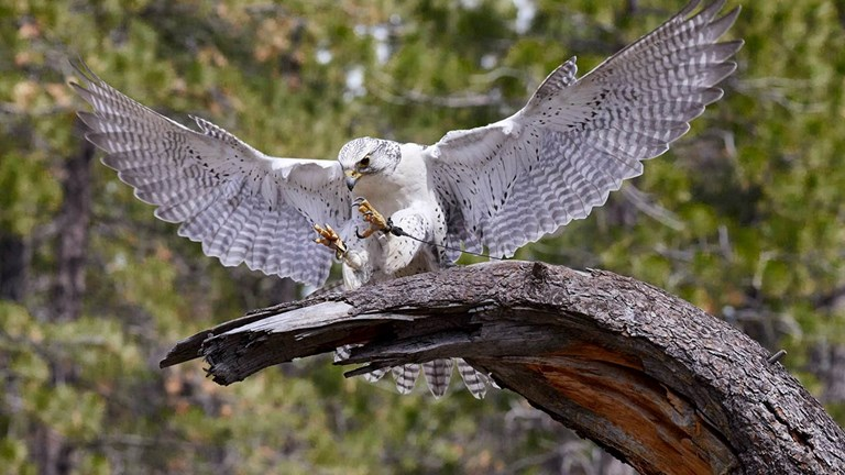The High Desert Museum's daily Bird of Prey Encounter features a gyrfalcon, the largest falcon species.