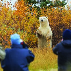 <p>A polar bear appears to pose for Churchill Wild guests at the Nanuk Polar Bear Lodge. // © 2016 Jerry Grajewski</p><p>Feature image (above): A...