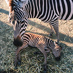 <p>Zebras are one animal breed that visitors will see and feed on a tour. // © 2015 Valerie Chen</p><p>Feature image (above): Malibu Wine Safaris is...