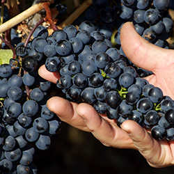 <p>Many businesses in the wine industry escaped damage, and the fall harvest season is now in full swing in the Napa Valley. // © 2014 Bob...