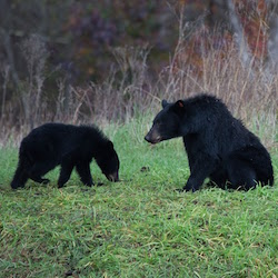 <p>More than 1,000 black bears make their home in Great Smoky Mountains National Park. // © 2016 Wildland Trekking</p><p>Feature image (above):...