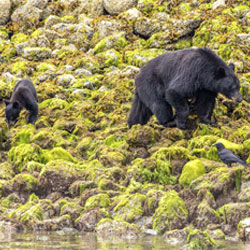 <p>Visitors to Tofino can spot local wildlife, such as coastal black bears. // © 2014 Thinkstock/ BlueMaxphoto</p><div></div>