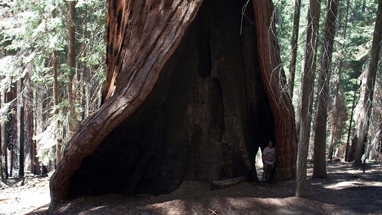 Hart Tree is one of the world's largest sequoias.