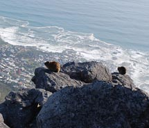 Dassies looking out at Table Bay // © 2010 Janeen Christoff