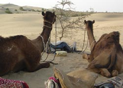 Camel safaris allow clients to explore India's Thar Desert.// (C) 2009 Christina Tse
