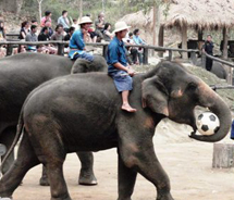Elephants playing soccer at the Maesa elephant camp in northern Thailand. // © 2010 Pride Travel/S. Nathan DePetris