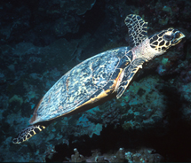 St. Kitts' Sea Turtle Interpretive Center will educate visitors and residents about these critically endangered animals. //  © 2012 St. Kitts Tourism...