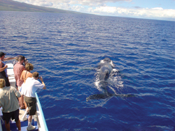 Whale-watching excursions can often be booked in advance. // (c)  Star of Honolulu Cruises & Events
