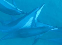 Spinner dolphins are the focal point of Oahu's Annual Dolphin Convocation. // (c) 2010 Steve Jurvetson