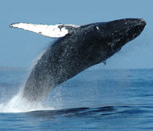Aston has partnered with Maui Adventure Cruises to offer special whale watching programs