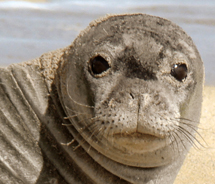 The endangered and endemic monk seal is the subject of a new weekly discussion at the Grand Hyatt Kauai Resort and Spa. // © 2012 the Grand Hyatt...