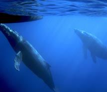 Humpback whale-watching season begins in mid-December and lasts through mid-April // © 2010 Teralani Sailing Adventures
