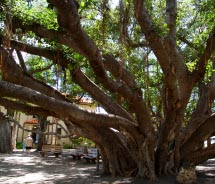 Lahaina's historic banyan tree will be decked out for the holidays.// © 2011 Bevis Chin
