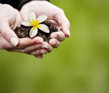 Female hands holding dirt with a plumeria blossom // © 2012 Shutter Stock