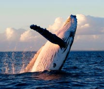 A breaching whale off Maui's coast // © 2012 Pacific Whale Foundation
