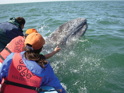 Winter whale-watching trips in Baja get passengers very close to the action. // (c) Maribeth Mellin