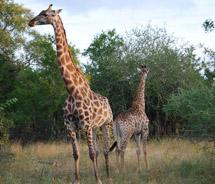Giraffes at Lion Sands Game Reserve // © 2010 Janeen Christoff