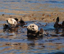 Sea otters playing during our Seaweed Express tour // © 2010 Janeen Christoff